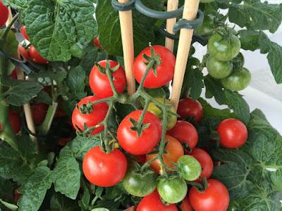 tomat determinate