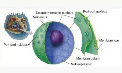 Definisi, Fungsi dan Struktur Inti Sel (Nukleus)
