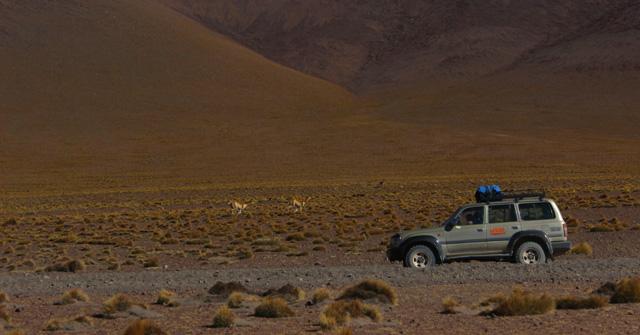 Pelea entre dos vicuñas junto a nuestro todoterreno