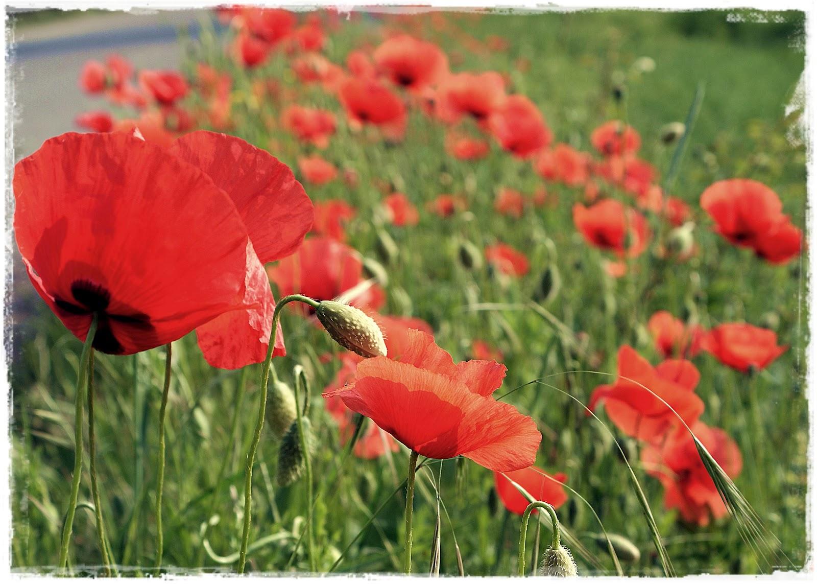 Creative Compulsive: Red Poppy Love