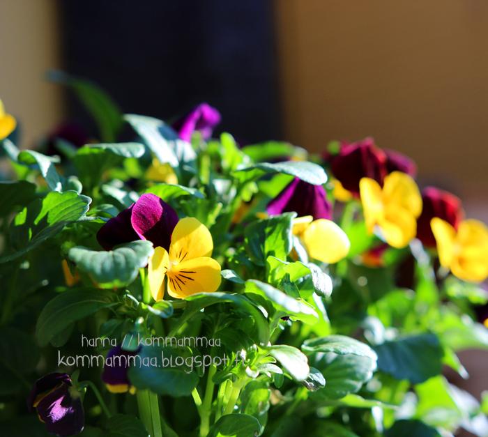 orvokki ampeli kukka