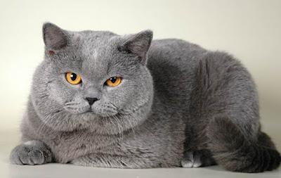 Tüyü Dökülmeyen Kedi Cinsleri