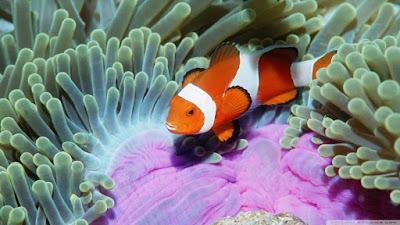 anemon laut dan ikan badut protokooperasi