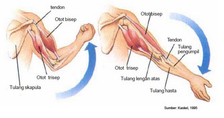 Hasil gambar untuk otot bisep dan trisep pandani