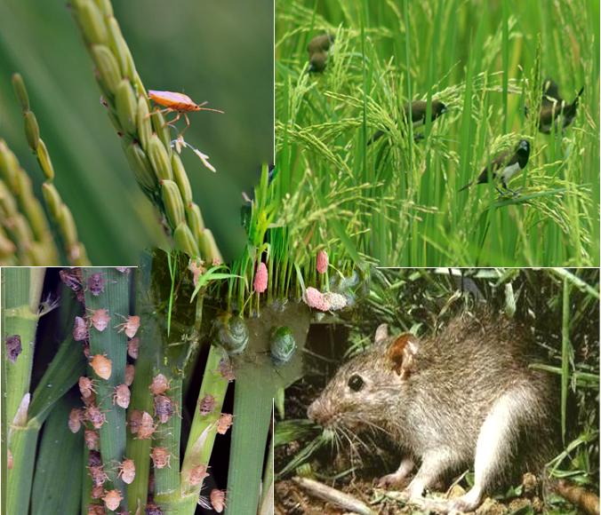 inilah jenis hama dan penyakit pada tanaman padi sawah