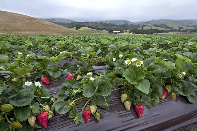 lands planted with strawberies in albania