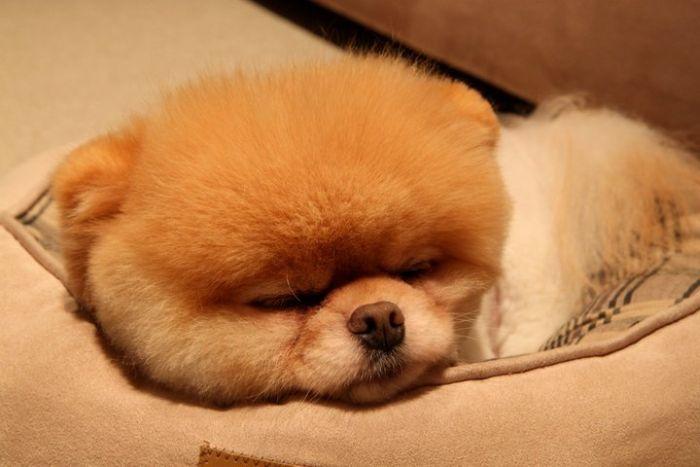 Meet Boo The Cutest Pomeranian Dog