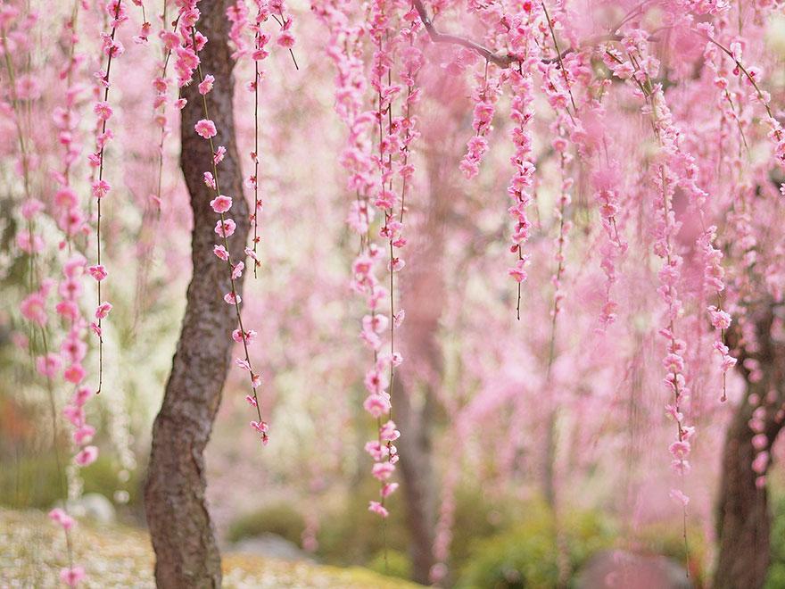 cherry-blossom-sakura-15