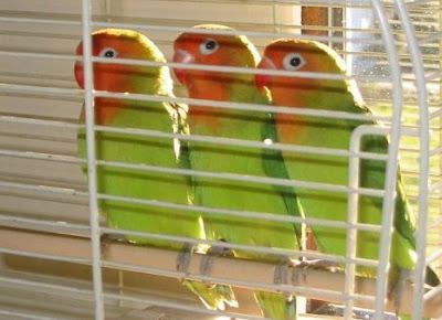 Jenis-Jenis Lovebird Lengkap dengan Penjelasannya