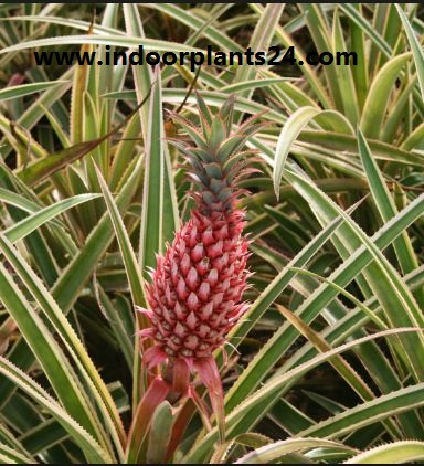 Ananas bracteatus (Red Pineapple) plant