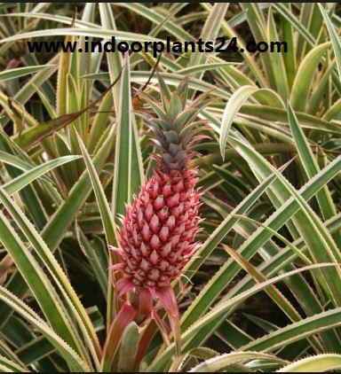 Ananas bracteatus (Red Pineapple) plant