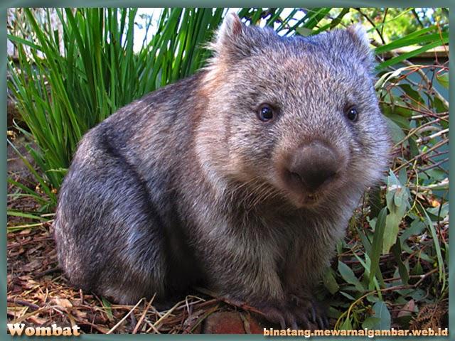 Gambar Wombat