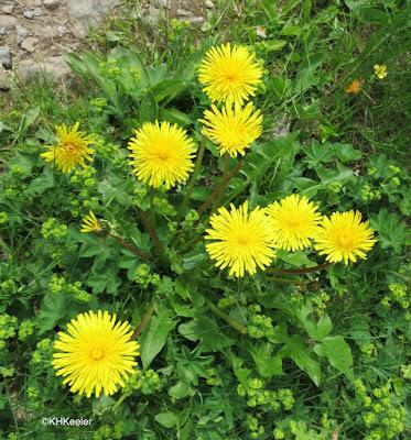 dandelions, Taraxacum officiale