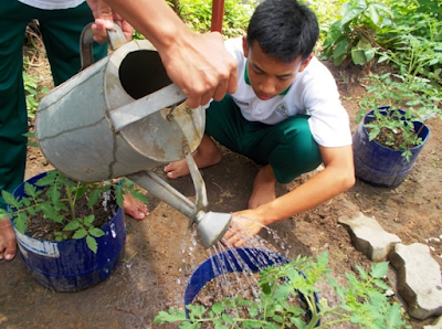 Memelihara pertumbuhan tanaman tomat di dalam pot secara telaten