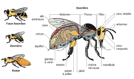 Abeille, Anatomie et Structure d'abeilles