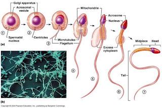 精細胞の分化時期