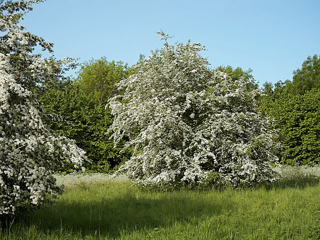 Isolated bush covered in hawthorn blossom
