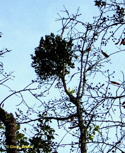 Beautifulnativeplants The Magic Of The Mistletoes