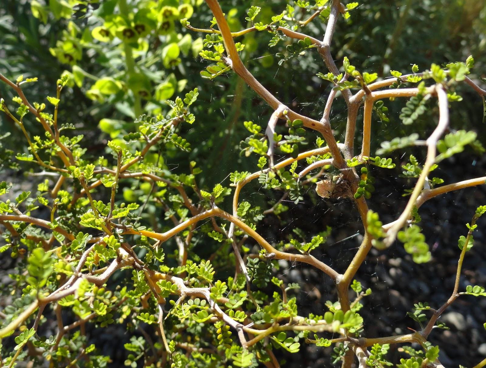 Chinese Rastafarian danger garden: Sophora...