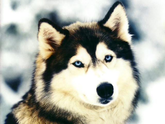 El perro lobo de Checoslovaquia
