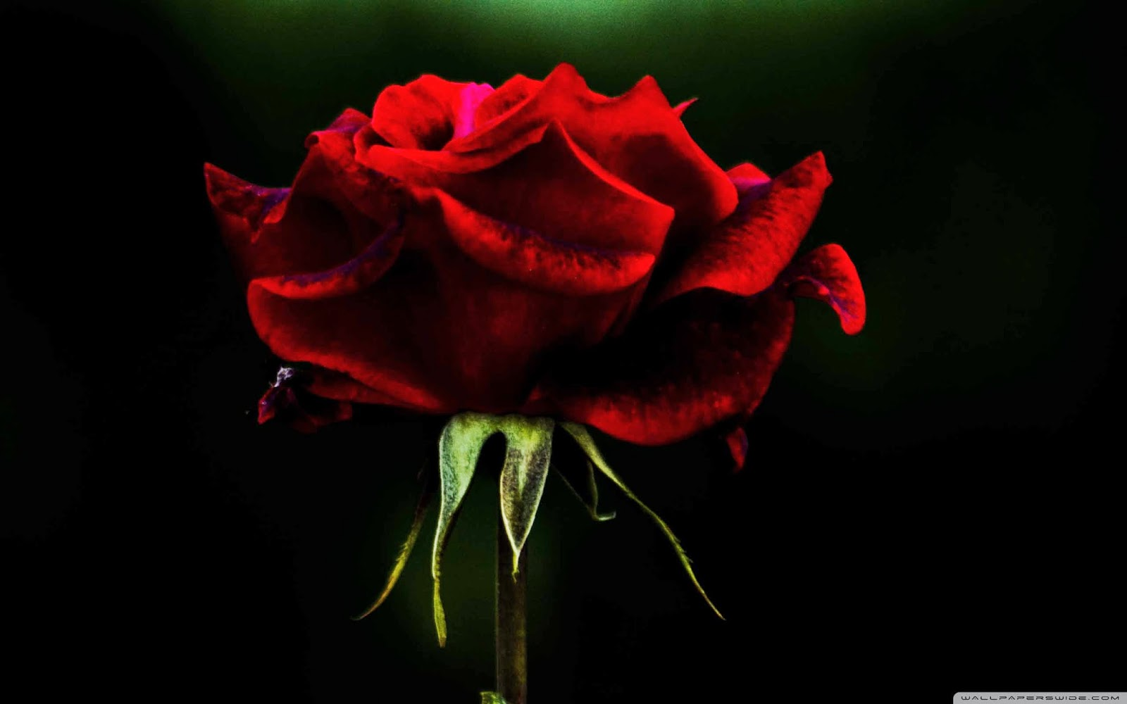 rose flower wallpaper