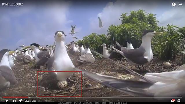 舟山群島上的燕鷗縮時攝影