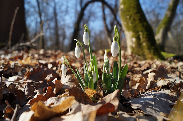 Snowdrops among the leaves in native woodland