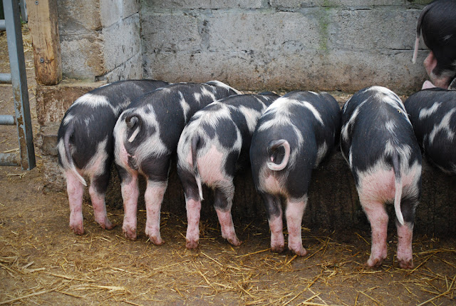 Piglets bottoms