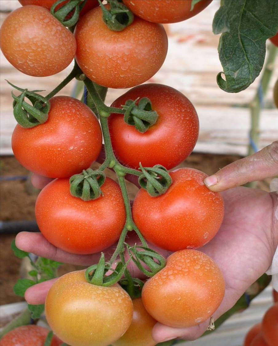 agriculture la culture de tomate sous serre. Black Bedroom Furniture Sets. Home Design Ideas