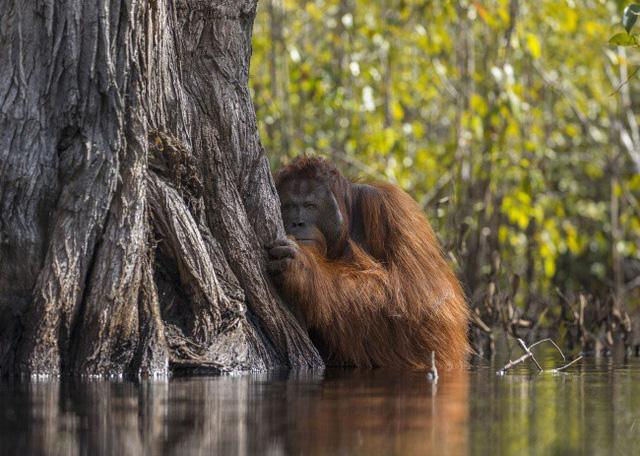 Một chú đười ươi ẩn nấp sau gốc cây khi đang cố băng qua dòng sông Borneo, nơi có đầy những con cá sấu háu đói. AmyPrint