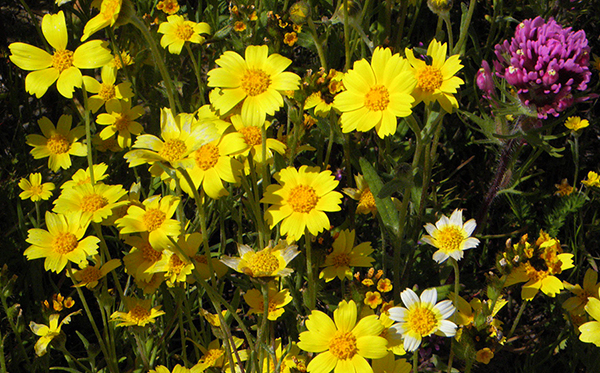 Hillside Daisies, or similar coreopsis-like plant, with tidy tips, purple owl's clover and common fiddleneck