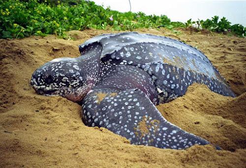 Maior tartaruga do mundo