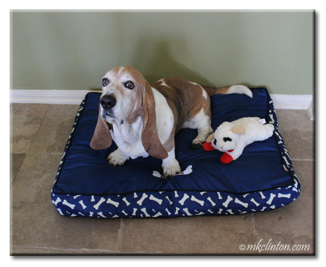Basset Hound sitting on a blue PrideBites bed