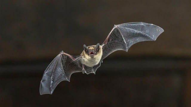 Στις νυχτερίδες κρύβεται το μυστικό της μακροζωίας