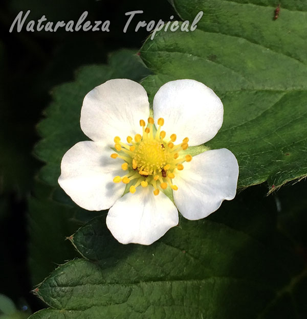 Flor típica de las plantas de Fresas, género Fragaria