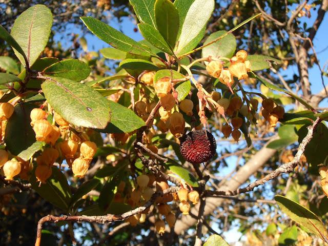 Flores y frutos del MADROÑO: Arbutus unedo