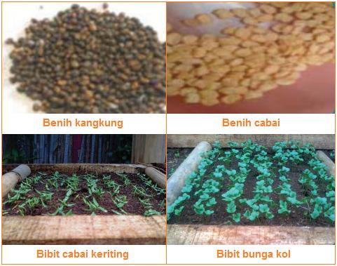 Benih atau bibit - Bahan Produksi Budi Daya Tanaman Sayuran