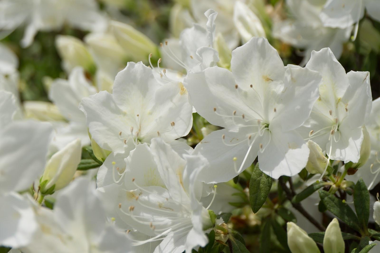 日差しに明るく輝いた白琉球の花