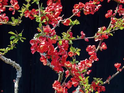 Boke (Chaenomeles speciosa) Flowers: Tokei-ji
