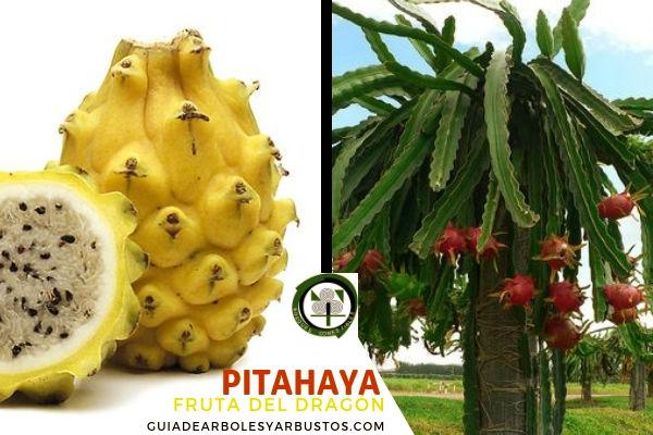 La pitahaya, pitaya o fruta dragón planta comestible de la familia cactaceae