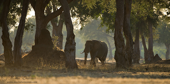 PhotoShare: Mana Pools Elephantscape