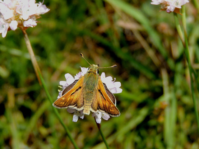 Macho de Hesperia comma