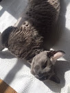 Valentino, A Devon Rex Cat From Sweden