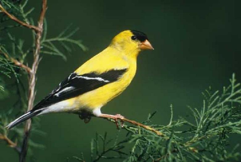 american goldfinch nest - photo #32