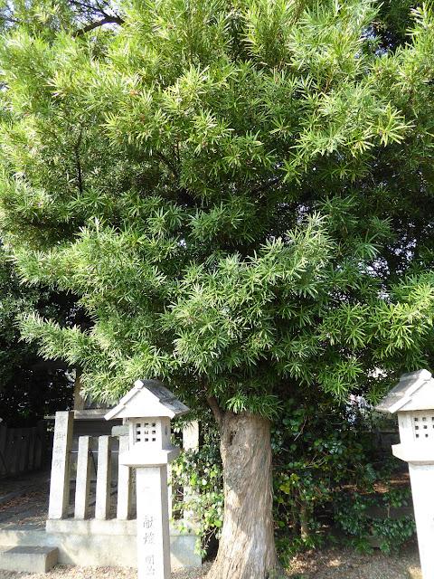 佐太天神宮 イヌマキの樹