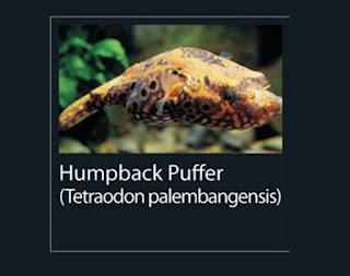 11. Humpback puffer  Nama latin tetraodon palembangensis