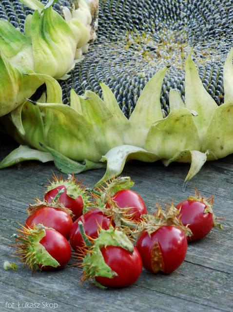 czerwone pomidorki kolczaste