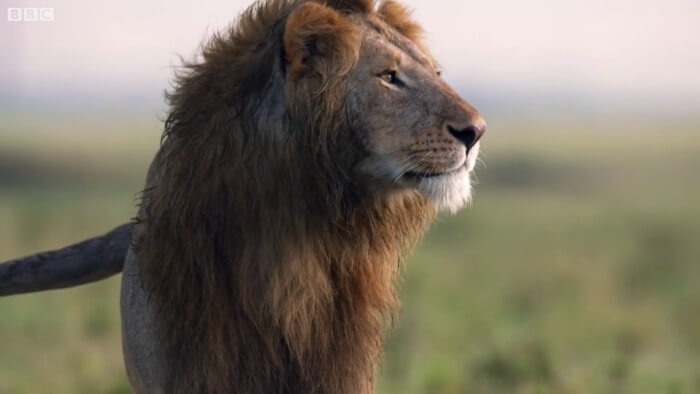 This Lion Was Losing A Fight Against 20 Hyenas. His Brother Heard Him And Rushed To Rescue Him!