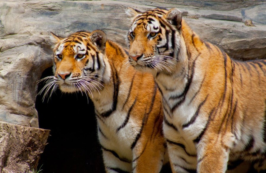 Siberian Tiger Habitat  Amur Tiger Habitat Loss and Map