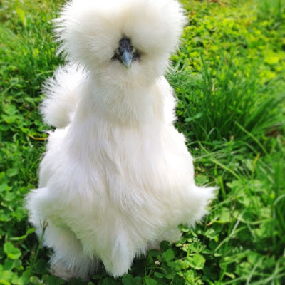 poulet silkie:
